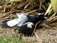Woodswallows, Magpies, Butcherbirds and Currawongs
