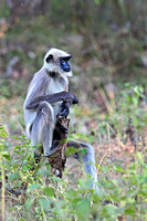 Black-footed Gray Langur